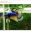 คัดเกรดปลากัดครีบสั้น-Halfmoon Plakat Mustrad Quality Grade thumbnail 6