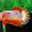 คัดเกรดปลากัดครีบสั้น-Halfmoon Plakat Orange Marble Hi - Quality Grade thumbnail 1