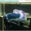 """(ขายแล้วครับ)""""คัดเกรด""""ปลากัดครีบสั้น-Halfmoon Plakats Grizzled thumbnail 3"""