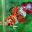 คัดเกรดปลากัดครีบสั้น-Halfmoon Plakad Premium Quality Grade Fancy Koi thumbnail 1