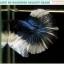 """(ขายแล้วครับ)""""คัดเกรดประกวด""""ปลากัดครีบยาว-Halfmoon BF 2 Colors Quality Grade thumbnail 10"""