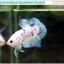 """(ขายแล้วครับ)""""คัดเกรด""""ปลากัดครีบสั้น-Halfmoon Plakats Fancy Marble thumbnail 1"""