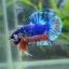 คัดเกรดปลากัดครีบสั้น-Halfmoon Plakat Fancy Dragon Blue Orange thumbnail 4