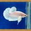 (ขายแล้วครับ)ปลากัดครีบสั้น - White Halfmoon Plakats thumbnail 1