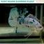 """(ขายแล้ว)""""คัดเกรด""""ปลากัดครีบสั้น-Halfmoon Plakats Fancy Dragon Marble thumbnail 3"""