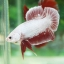 """""""คัดเกรด""""ปลากัดครีบสั้น-Halfmoon Plakats PinkDragon thumbnail 1"""