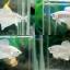 """(ขายแล้วครับ)""""คัดเกรด""""ปลากัดครีบสั้น-Halfmoon Plakats White Platinum thumbnail 1"""