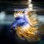 เพศผู้ปลากัดครีบยาว หางมงกุฏ ลายธงชาติ - Male CrownTails Premium Quality Grade thumbnail 1