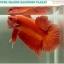 """(ขายแล้วครับ)""""คัดเกรด""""ปลากัดครีบสั้น-Halfmoon Plakats Super Orange 002 thumbnail 2"""