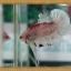(ขายแล้วครับ)HMPKFC ปลากัดครีบสั้นเกรดประกวด thumbnail 1