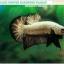 (ขายแล้วครับ)+แถมตัวเมีย+ปลากัดครีบสั้น-Halfmoon Plakat Black Dragon Copper thumbnail 3