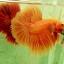"""""""คัดเกรด""""ปลากัดครีบยาว-Halfmoon Super Orange thumbnail 4"""