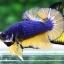 ปลากัดคัดเกรดครีบสั้น - Halfmoon Plakad Mustrad Premium Quality Grade AAA+ thumbnail 2