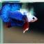 คัดเกรดปลากัดครีบสั้น-Halfmoon Plakat Blue Dragon White Monster thumbnail 1