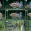 """(ขายแล้วครับ)""""คัดเกรด""""ปลากัดครีบสั้น-Halfmoon Plakats FAncy Koi ลายจุดสวยงาม thumbnail 1"""