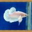 (ขายแล้วครับ)ปลากัดครีบสั้น - White Halfmoon Plakats thumbnail 3