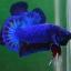 คัดเกรดปลากัดครีบสั้น-Halfmoon Plakat Fancy Blue Dragon thumbnail 4