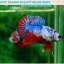 """(ขายแล้วครับ)""""คัดเกรด""""ปลากัดครีบสั้น-Halfmoon Plakats Fancy Dragon Nice colors thumbnail 7"""