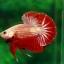 คัดเกรดปลากัดครีบสั้น - HalfMoon Plakad Red Dragon Quality Grade AAA+ thumbnail 2