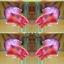 คัดเกรดปลากัดครีบสั้น-Halfmoon Plakat Fancy Pink Man Grade AAA+ thumbnail 1