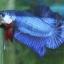 """(ขายแล้วครับ)""""คัดเกรด""""ปลากัดครีบสั้น-Halfmoon Plakats Fancy Blue thumbnail 4"""