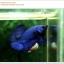 คัดเกรดปลากัดครีบสั้น-Halfmoon Plakat Super Blue thumbnail 2