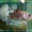 """(ขายแล้วครับ)""""คัดเกรด""""ปลากัดครีบสั้นเนียนๆสวยขั้นเทพ-Halfmoon Plakats Fancy Koi thumbnail 4"""