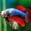 (ขายแล้วครับ)ปลากัดครีบสั้น-Halfmoon Plakats Fancy Dragon thumbnail 7