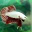 """(ขายแล้วครับ)""""คัดเกรด""""ปลากัดครีบสั้น-Halfmoon Plakats Red Dragon thumbnail 10"""