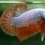 """(ขายแล้วครับ)""""คัดเกรด""""ปลากัดครีบสั้น-Halfmoon Plakats Orange Dragon Sweet thumbnail 7"""