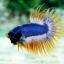 (ขายแล้วครับ)ปลากัดครีบยาวหางมงกุฎ-Crowntails02 thumbnail 4