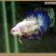 คัดเกรดปลากัดครีบสั้น-Halfmoon Plakat Fancy Blue Dragon and Marble thumbnail 4