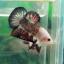 """(ขายแล้วครับ)ตอนรับเทศกาล สงกรานต์ """"คัดเกรด""""ปลากัดครีบสั้น-Halfmoon Plakats thumbnail 4"""
