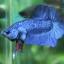(ขายแล้วครับ)ปลากัดครีบสั้น - Halfmoon Plakats SUPER BLUE thumbnail 5