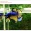 คัดเกรดปลากัดครีบสั้น-Halfmoon Plakat Mustrad Quality Grade thumbnail 7