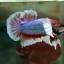 """(ขายแล้วครับ)Big Ear หูช้าง """"คัดเกรด""""ปลากัดครีบสั้น-Halfmoon Plakats Big Ear Lavender thumbnail 10"""