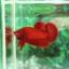 """(ขายแล้วครับ)""""คัดเกรด""""ปลากัดครีบสั้น-Halfmoon Plakats Super Red#2 Grade B+ thumbnail 5"""