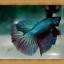 Halfmoons ปลากัดครีบยาว หางพระจันทร์ครึ่งดวง thumbnail 2