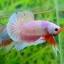 คัดเกรดปลากัดครีบสั้น-Halfmoon Plakat Fancy Dragon Pink thumbnail 3