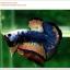 คัดเกรดปลากัดครีบสั้น-Hi- Quality Halfmoon Plakat Fancy Dragon Quality Grade thumbnail 1