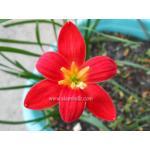 บัวดิน zephyranthes pride of singapore ขนาดออกดอก