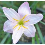 ขายบัวดินพันธุ์ Jaiant White หัวออกดอก