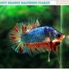 """(ขายแล้วครับ)""""คัดเกรด""""ปลากัดครีบสั้น-Halfmoon Plakats Fancy Dragon Dot Orange"""