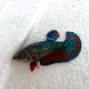ปลากัดคัดเกรดครีบสั้นเพศเมีย - Female Halfmoon Plakad Fancy Dragon Quality Grade