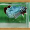 ปลากัดครีปสั้น - Halfmoon Plakats Blue