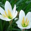 บัวดิน / Zephyranthes Lily, Rain Lily