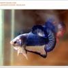 คัดเกรดปลากัดครีบสั้น-Halfmoon Plakat Blue Mustrad