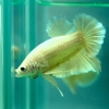 ปลากัดคัดเกรดครีบสั้น - Halfmoon Plakad Super Gold Quality Grade
