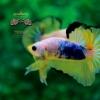 คัดเกรดปลากัดครีบสั้น-Halfmoon Plakat Fancy Dragon Yellow Blue Quality Grade