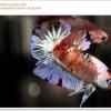 คัดเกรดปลากัดครีบสั้น-Halfmoon Plakat Koi Ice Fancy